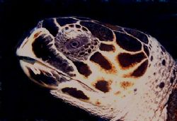 This turtle stopped long enough for a closeup shot. The p... by Steven Anderson