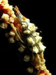 Zeno The Crab! It was hanging on a whip coral on a wall d... by Ed Eng