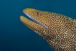 White mouth eel portrait by Andy Lerner