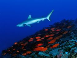 A gray reef shark and its food at the Marshall Islands. by Luiz Rocha