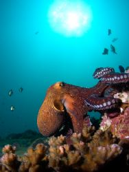 Octopus walking along reef. Olympus 5050, Inon WAL, singl... by Kristin Anderson
