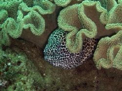 Coral and the Moray eel by David Johnson