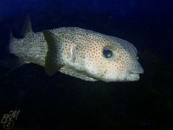 Porcupinefish from twilight dive in Bonaire......Resubmit... by Brian Mayes