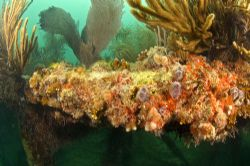Christmas tree worms on Flagler's Barge wreck. Marathon K... by David Heidemann