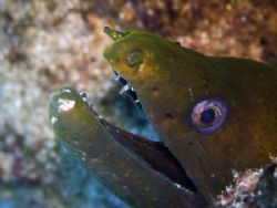 This Moray decided to poke it's head out to check out the... by Ash Pickering