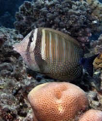 Zebrasoma surgeonfish taken at sharks bay. by Anel Van Veelen
