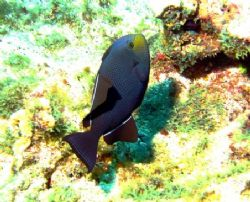Black Durgon seen August 2006 in Grand Cayman. Photo take... by Bonnie Conley