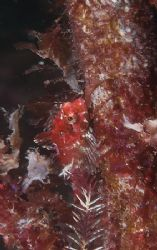 Tiny red scorpion fish on kelp stem.