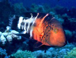 'STOP LIGHT' Parrot fish. Cayman Brac. Housed Nikon F; 24... by Rick Tegeler