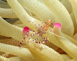 Spotted Cleaner Shrimp from Bonaire. Nikon 990 with Ikeli... by Brian Mayes