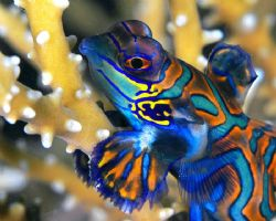 Not in the mood for love.  Mandarin fish with a 'not to... by Beverly Speed