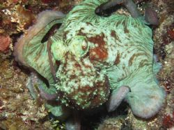 """On the Hunt"" Caribbean Reef Octopus 18-20"" Night Dive. A... by Shawn Rener"