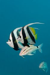 Bannerfish with goatfish. Canon 20D/Subal, Sigma 17-70, s... by Kristin Anderson