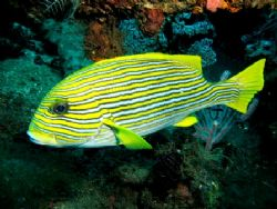 Ribbon Sweetlips at cleaning station...i guess. It didn't... by Mohan Thanabalan