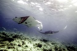Mantas in the Maldives. 2006. by Chris Wildblood