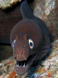 Black Moray (Muraena muppeti)from La Gomera in the Canari... by Brian Mayes