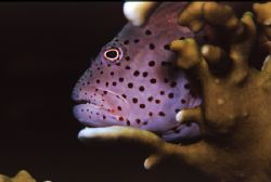 Hawkfish - Red Sea - Nikon F50, 105mm by Paul Maddock
