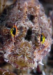 Long-spined scorpion fish. Trefor Pier, N. Wales. D200,... by Mark Thomas