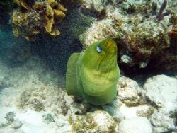 Green Moray seen at Grand Cayman this August. Taken with ... by Bonnie Conley