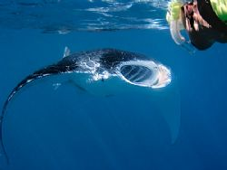 Snorkeling with manta rays is awesome - doubly so when th... by Kristin Anderson