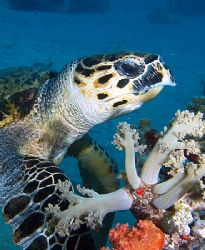 Turtle eating some softcorals at Yolanda reef, Ras Mohame... by Nikki Van Veelen