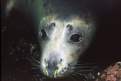 Seal - Farne Islands UK - Nikon F50, 60mm, Single YS60 st... by Paul Maddock