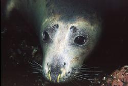 Seal - Farne Islands UK - Nikon F50, 60mm, Single YS60 st... by Paul Maddock