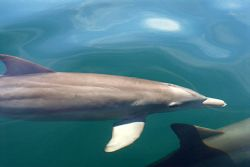 Dolphins swimming next to our boat in Key Largo. Sea cond... by Michael Salcito