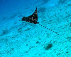 Baby eagle ray learning to fly - taken with an Olympus Ca... by Anna Wright
