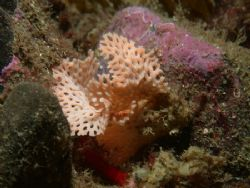 another nice bryozoan, probably Reteporella, this kind of... by Cesar Cardenas