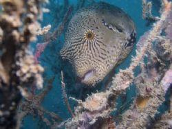 Pufferfish at Perhentian island. C5050. by Erika Antoniazzo