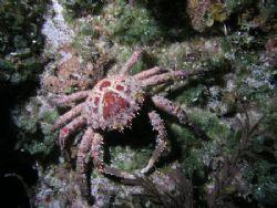 Reef crab,camera olympus c-5050 ikelite ds-125 strobe, wa... by Ray Eccleston