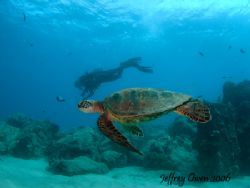 This is really just one huge turtle and some diver is tou... by Jeffrey M Owen