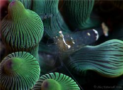 Bubble anenome shrimp ... by Alex Tattersall