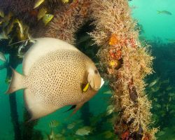 Angelfish on Flagler barge wreck. Marathon Key. D70, 10.5... by David Heidemann