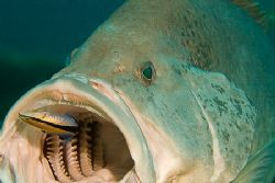Large cod patiently getting some dental work done. Canon ... by Kristin Anderson