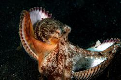 Octopus trying to hide in shells. D70,60mm. Lembeh Strait by Frankie Tsen
