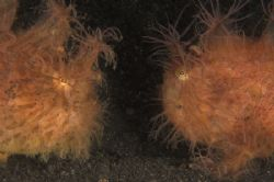 Frogfish faceoff - who ate my fish! Pair of hairy frogfis... by Simon Pickering