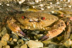 Crab - North Wales, UK - D70s, 60mm, trin strobes. by Paul Maddock