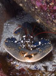 Common Lobster. Isle of Harris.