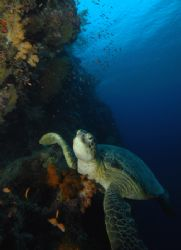 Found this lazy turtle resting on the reef ;-) by Paul Hunter
