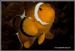 This clown fish is my first decent under water SLR pictur... by Yves Antoniazzo