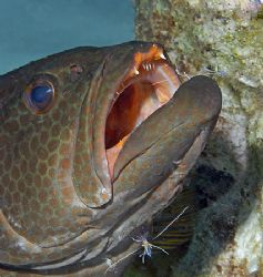 Rock Hind enjoying the free cleaning by Pederson Shrimp. ... by Jim Chambers