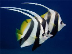 Trio of bannerfish at one of my favourite dive sites. Oly... by Kristin Anderson