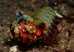 Another one from KBR 2005 - Mantis Shrimp out of its nest... by Simon Pickering