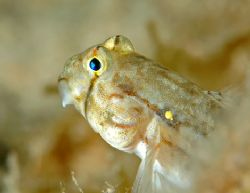 Goldspot goby. Grand Cayman. D70, 105 mm macro lens. Two ... by David Heidemann