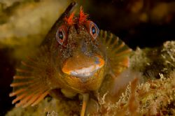 Tompot Blenny - North Wales, UK, Nikon D70s, 60mm, Twin s... by Paul Maddock
