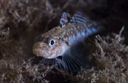 Very small Painted goby. Harris. Scotland. D200,60mm. by Derek Haslam