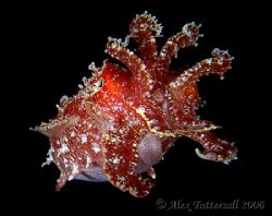 Another fav.. cuttlefish !! e900 by Alex Tattersall