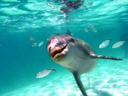 dolphin at roatan by Guja Tione